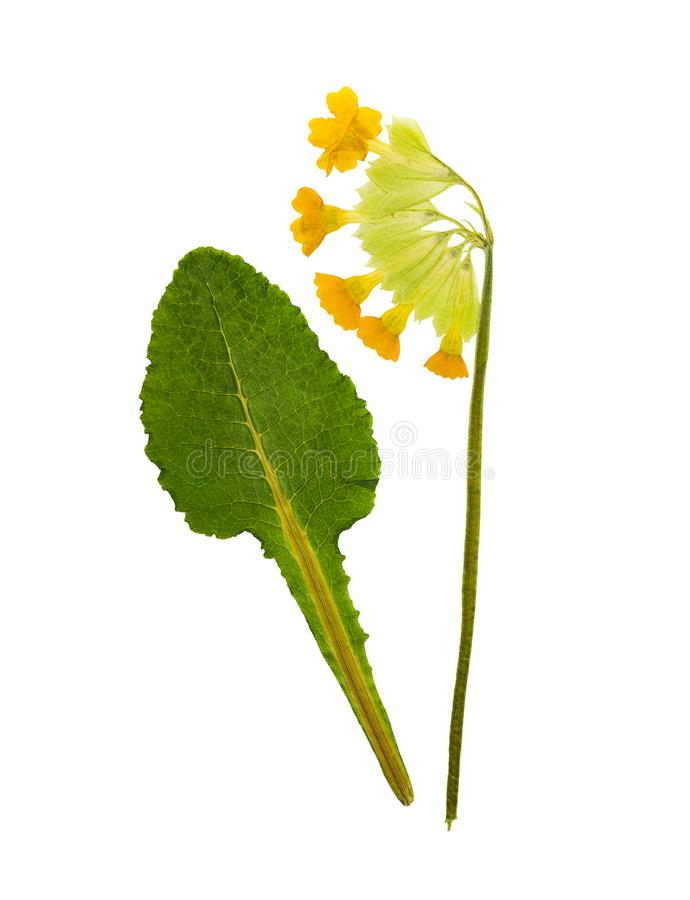 Pressed and dried primrose flowers - primula polyanthus stock images
