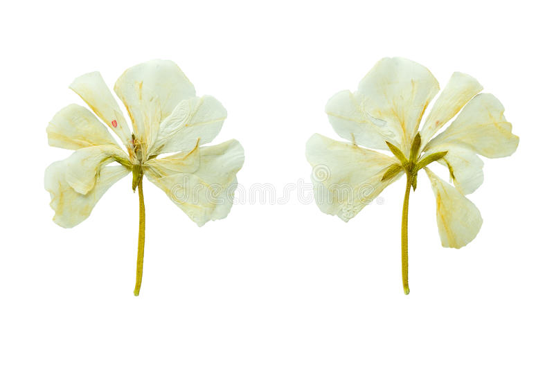 Pressed and Dried white geranium flower. Isolated on white background. stock photo