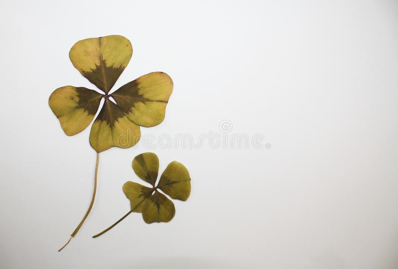 Pressed dry cloverleaf decoration plant and empty space for text. Pressed dry cloverleaf decoration plant and empty copy space for text royalty free stock image