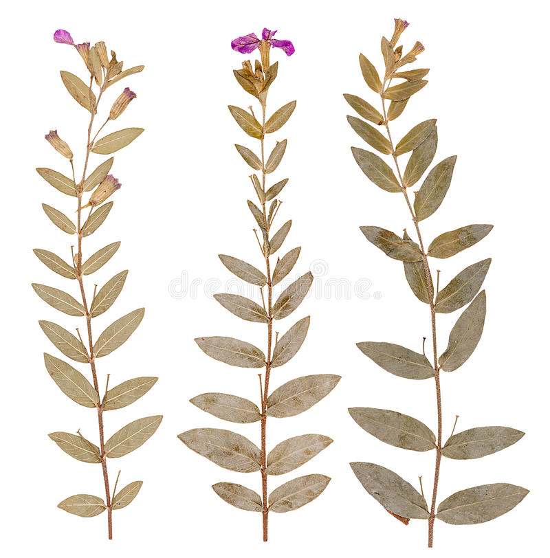 Pressed flowers, isolated stock image