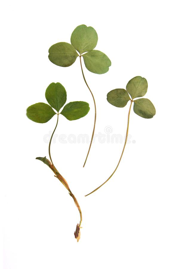 Pressed green clover leaf isolated on white background royalty free stock photos