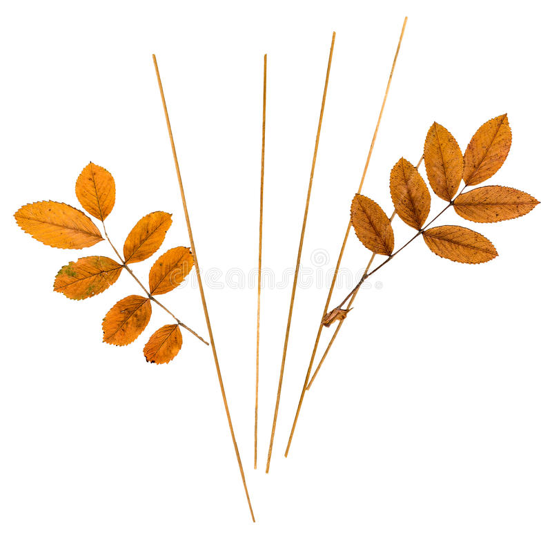 Pressed leaves mountain ash and blades of grass. Dry pressed orange leaves mountain ash and thin blades of grass stock photo