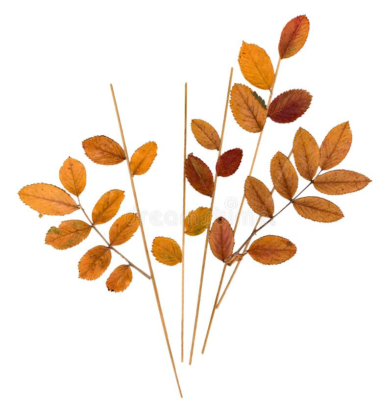 Pressed leaves mountain ash, blades of grass and flowers celand. Dry pressed orange leaves mountain ash, blades of grass and flowers celandine blossom stock image