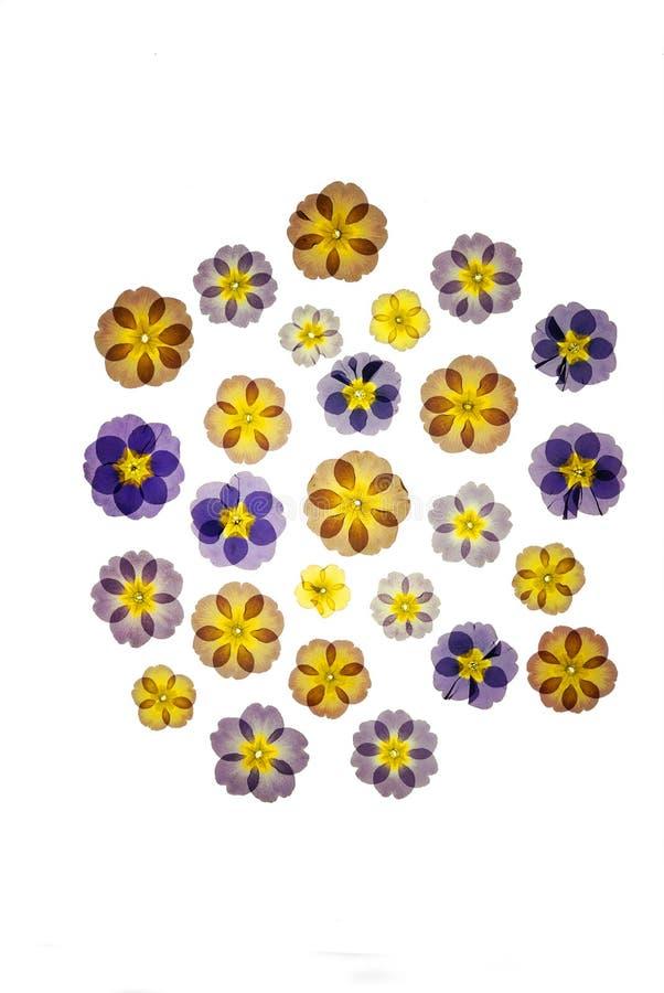 Download Pressed primroses stock photo. Image of primroses, background - 15156492