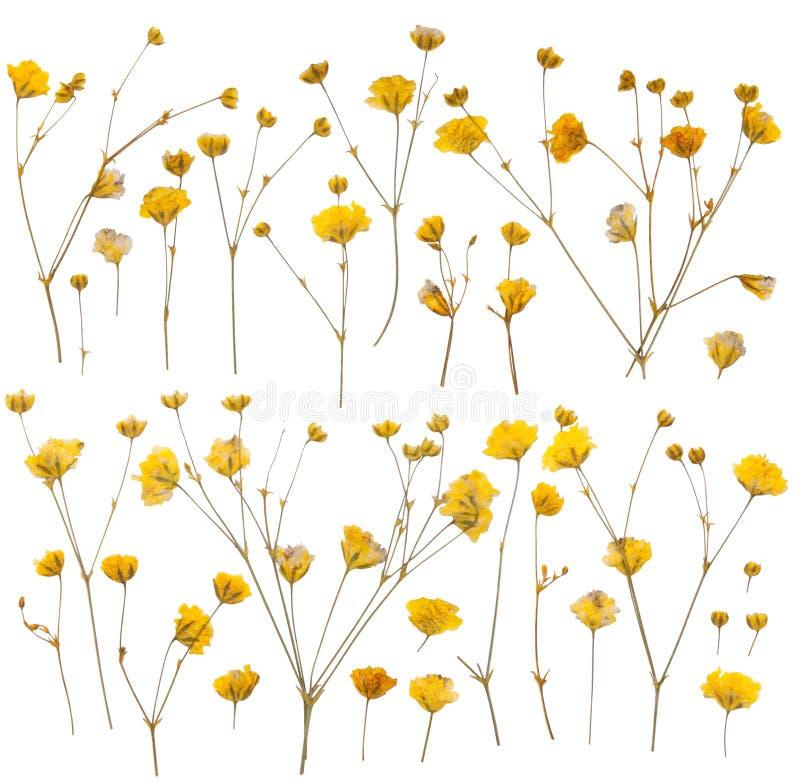 Pressed yellow wildflowers royalty free stock photo