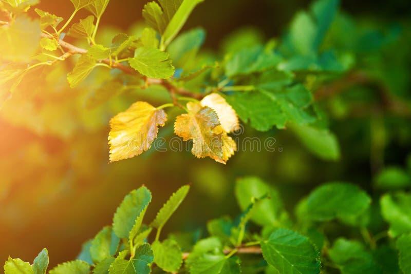 Presto autunno, le foglie girano dorato immagini stock libere da diritti