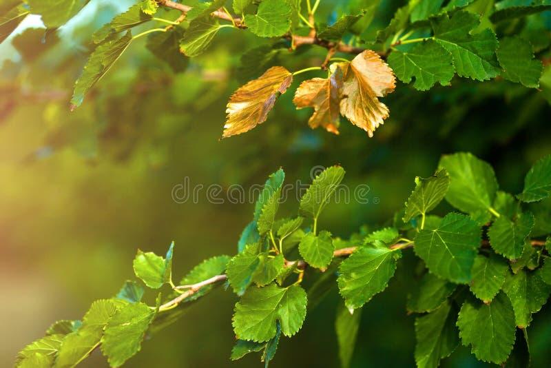 Presto autunno, le foglie girano dorato immagine stock