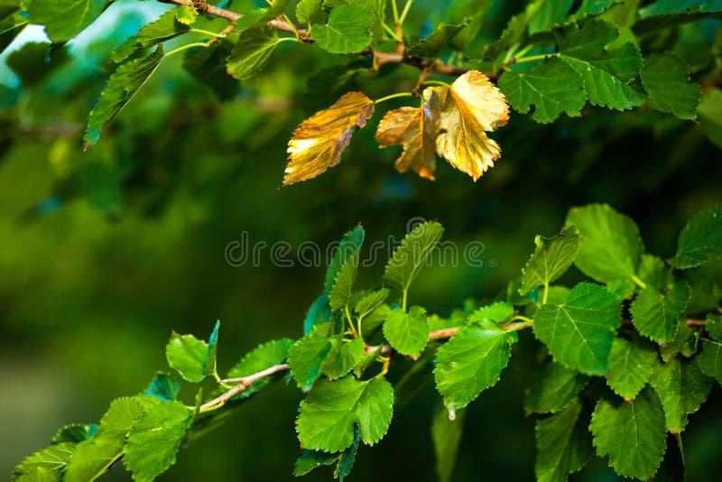 Presto autunno, le foglie girano dorato fotografie stock libere da diritti