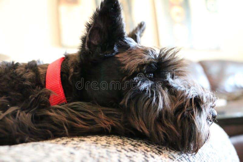 Preto bonito cachorrinho velho do Schnauzer diminuto de 16 semanas que relaxa fotografia de stock royalty free