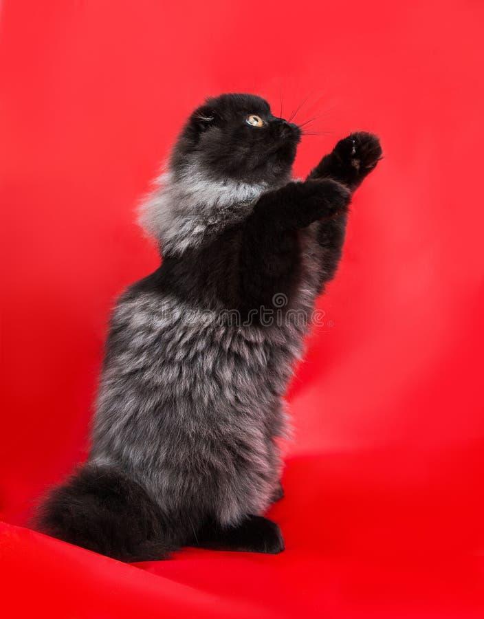Preto chique com o gatinho cinzento com cabelo longo macio foto de stock