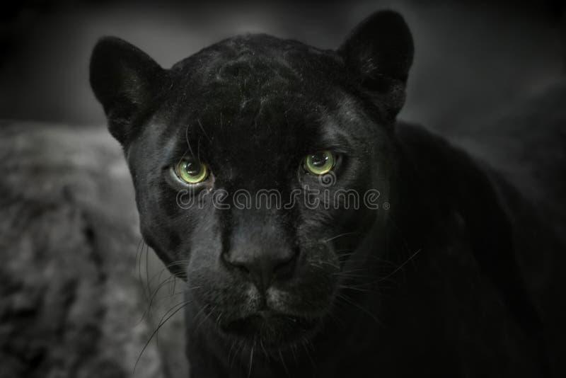 Preto do jaguar. Retrato imagem de stock royalty free
