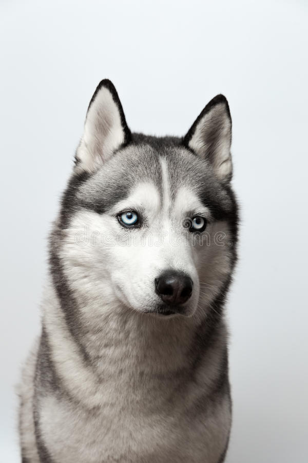 Preto e branco adorável com os olhos azuis roncos Tiro do estúdio no fundo cinzento Focalizado nos olhos fotografia de stock royalty free