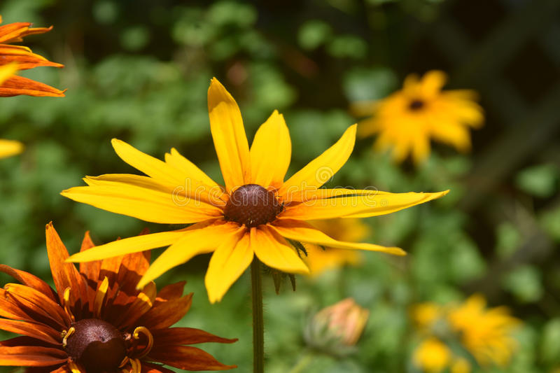 Pretty Abundance of Black Eyed Susans in Nature stock photography