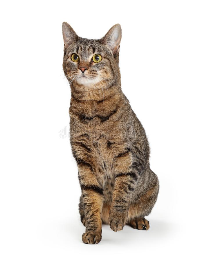 Brown Tabby Cat Lifting Paw. Pretty adult brown and black tabby cat sitting on white background raising paw royalty free stock photo