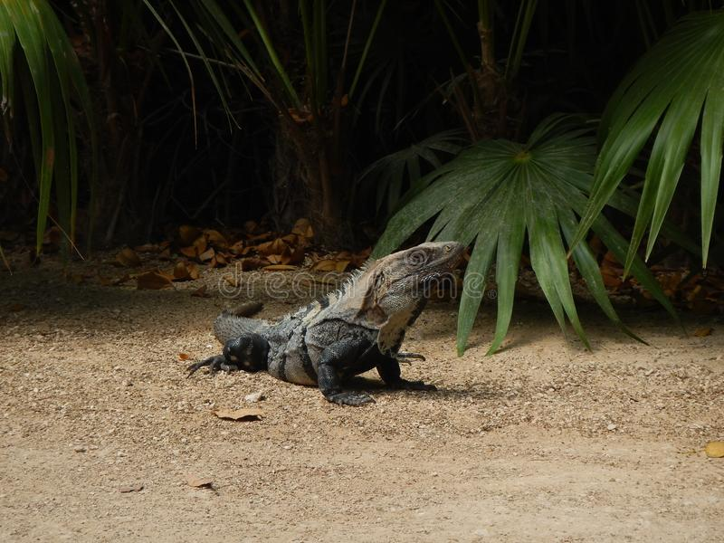 Pretty adult iguana stock image
