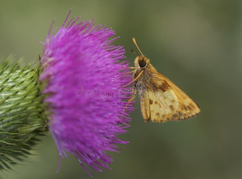 Male Zabulon Skipper butterfly in New Jersey royalty free stock photo