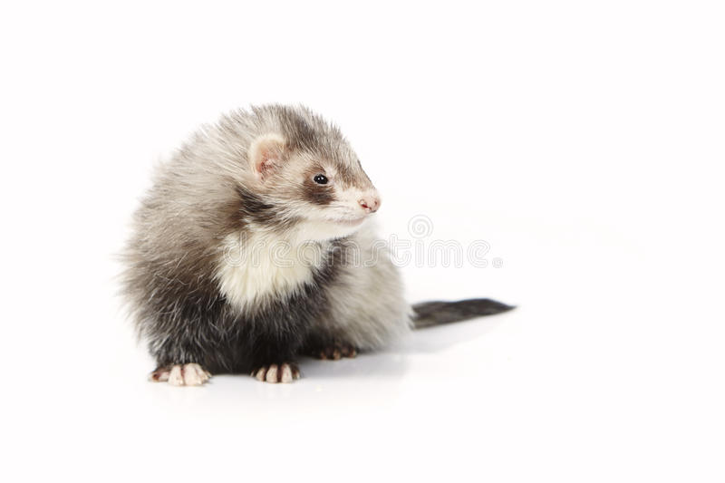 Pretty angora ferret on white background posing for portrait in studio. Ferret on white background posing for portrait in studio stock photo