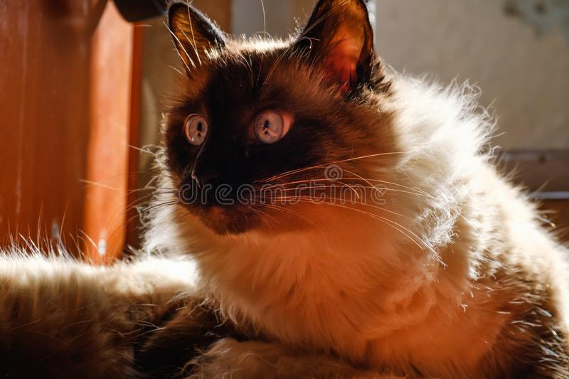 Pretty balinese domestic cat, pet relax,  home kitty. Pretty balinese domestic cat, pet relax on sun beam,  home kitty royalty free stock photos