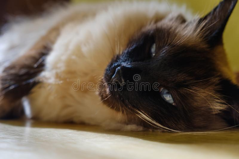 Pretty balinese domestic cat, pet relax,  nopeople. Pretty balinese domestic cat, pet relax on sun beam,  nopeople royalty free stock photos