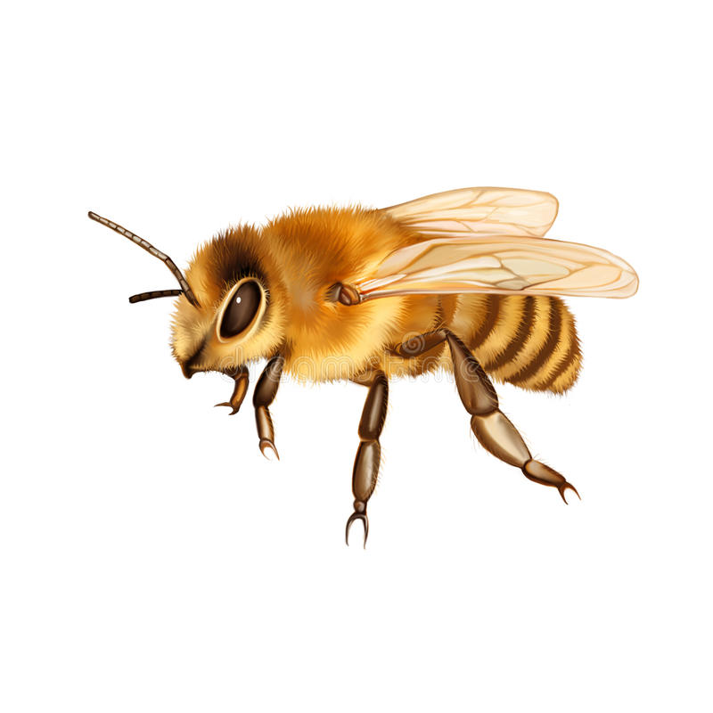 Free Pretty Bee Isolated On The White Royalty Free Stock Photos - 39415688