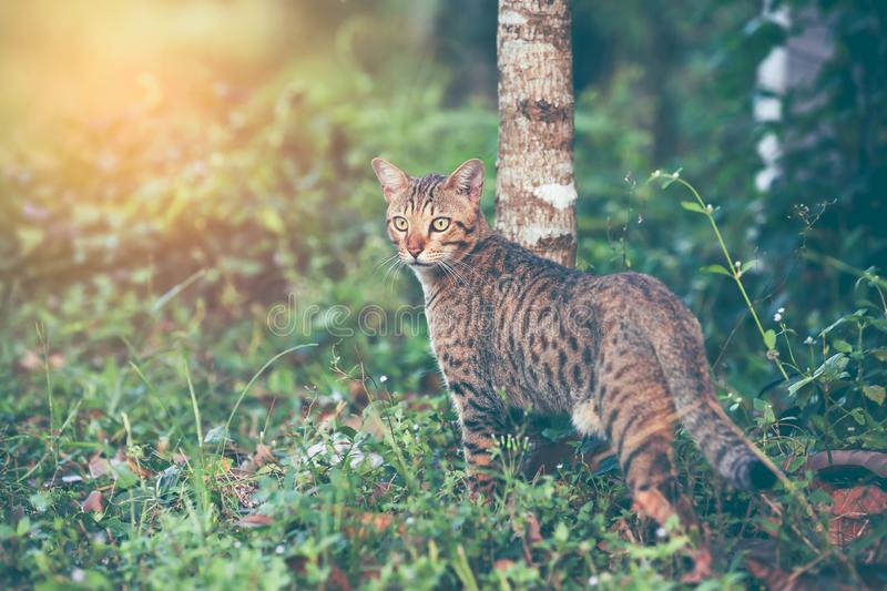 Bengal cat hunting in forest. Outdoor with bright sunlight. royalty free stock image
