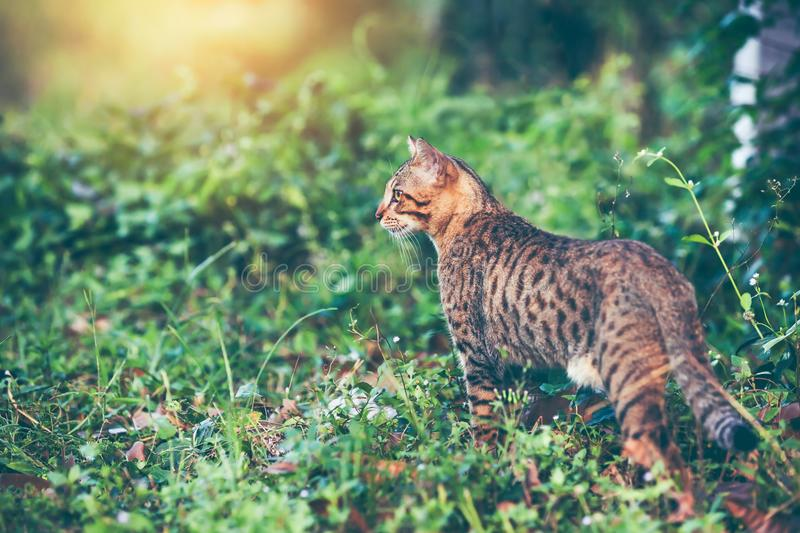Bengal cat hunting in forest. Outdoor with bright sunlight. stock image