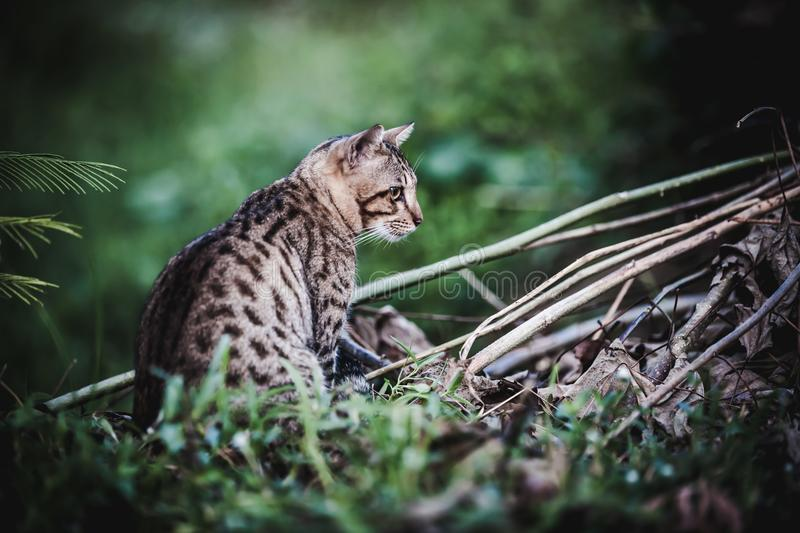 Bengal cat go hunting in forest. Animal life on nature background. Dark tone. stock photo