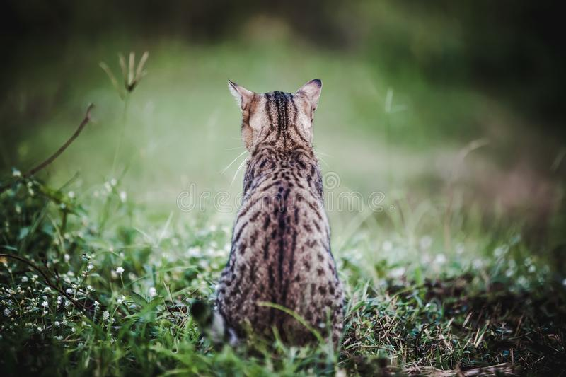 Pretty bengal cat sitting on green grass and looking aside at pa royalty free stock photo