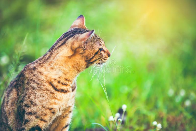 Pretty bengal cat sitting on green grass and looking aside at pa stock image