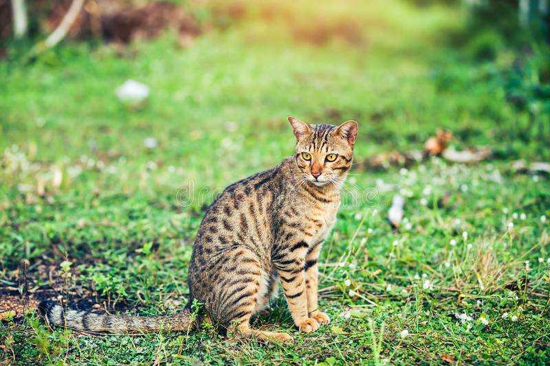 Pretty bengal cat sitting on green grass and looking aside at pa royalty free stock images