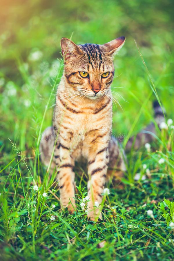 Pretty bengal cat sitting on green grass and looking aside at pa royalty free stock photos