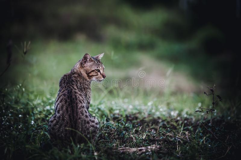 Pretty bengal cat sitting on green grass and looking aside at pa royalty free stock image