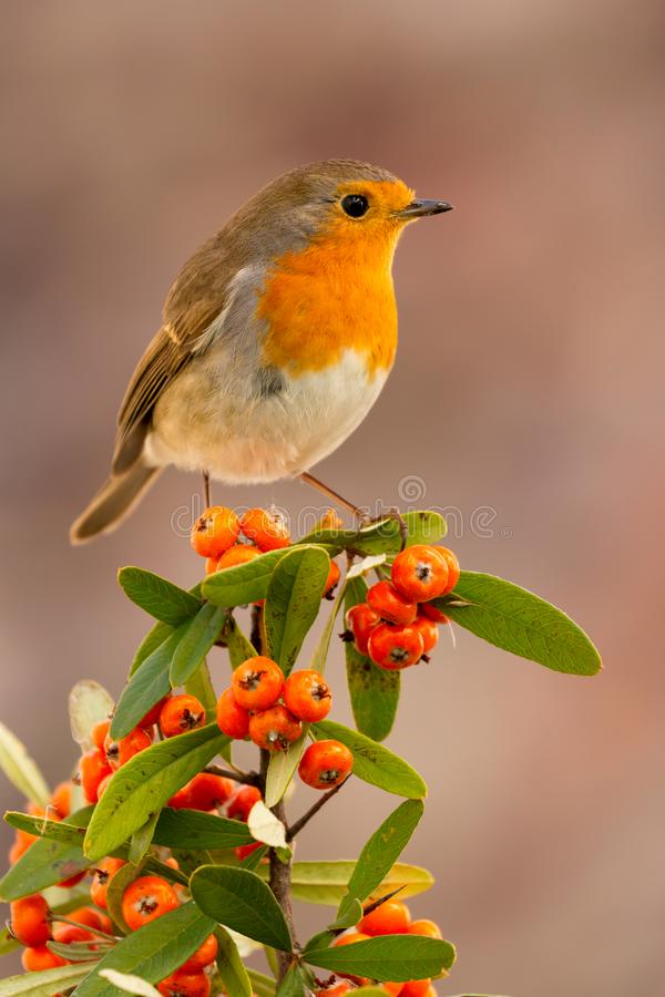 Pretty bird with a nice red plumage. Pretty bird with a nice orange red plumage on a branch full of red berries royalty free stock image