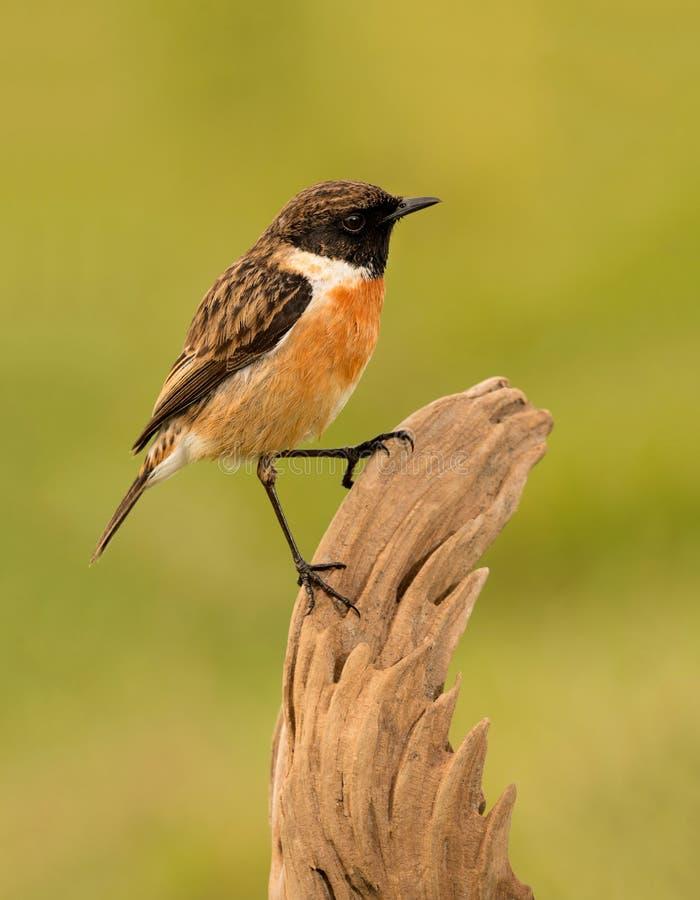 Free Pretty Bird On Nature Royalty Free Stock Photos - 66001538