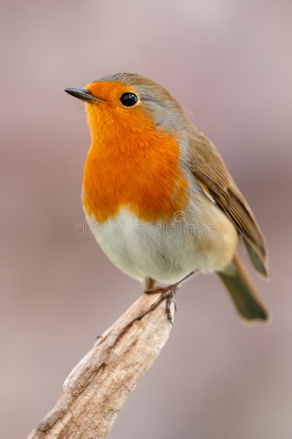 Free Pretty Bird With A Nice Orange Red Plumage Royalty Free Stock Image - 102553506