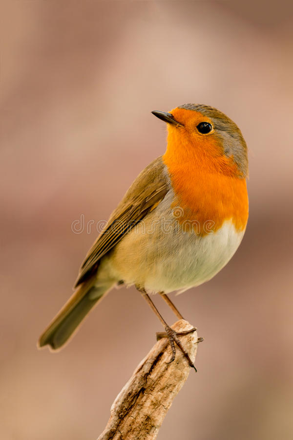 Free Pretty Bird With A Nice Orange Red Plumage Royalty Free Stock Photo - 83824845