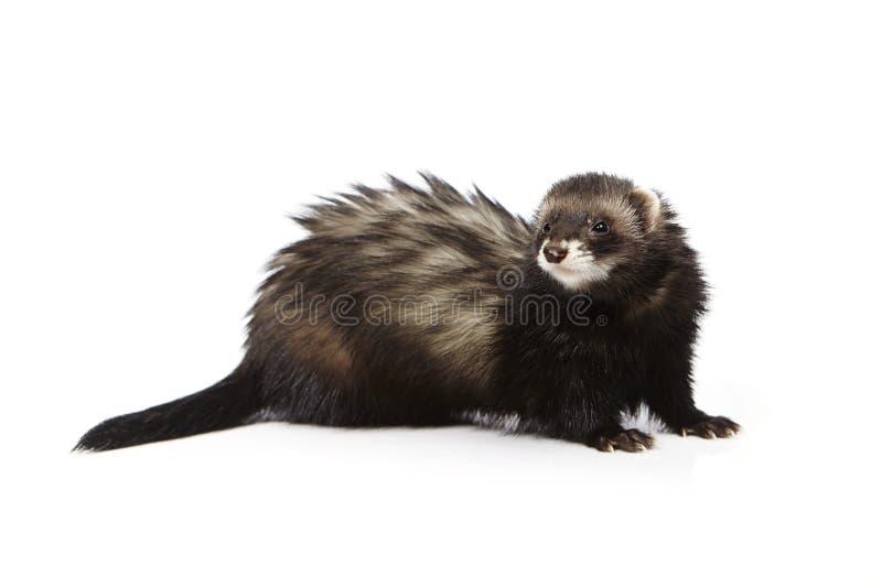 Pretty black ferret on white background posing for portrait in studio. Ferret on white background posing for portrait in studio royalty free stock photo