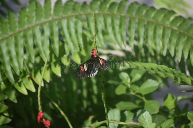Black Pink and White Longwing Butterfly on a Green Vine royalty free stock photos