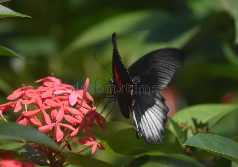 Pretty Black and Red Scarlet Swallowtail Butterfly with Red Flow stock photos