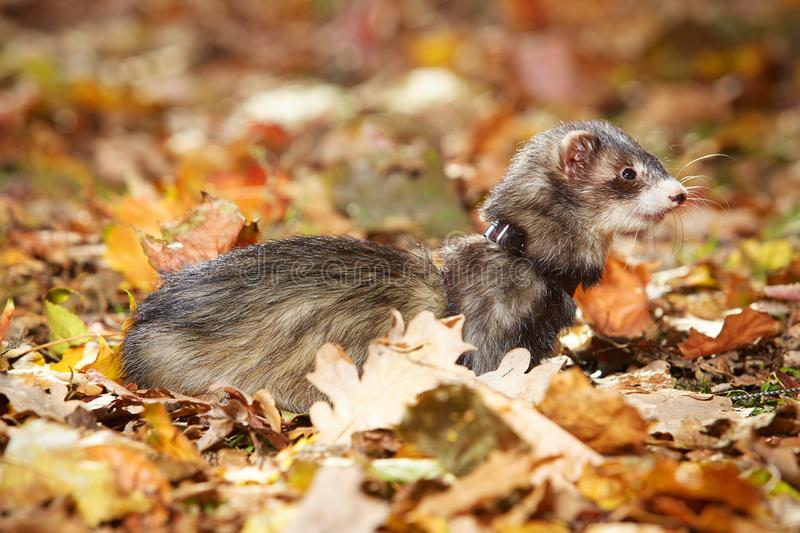 Pretty black sable ferret posin on leaves in autumn park. Ferret on leash posing and enjoying their game in autumn park royalty free stock photography