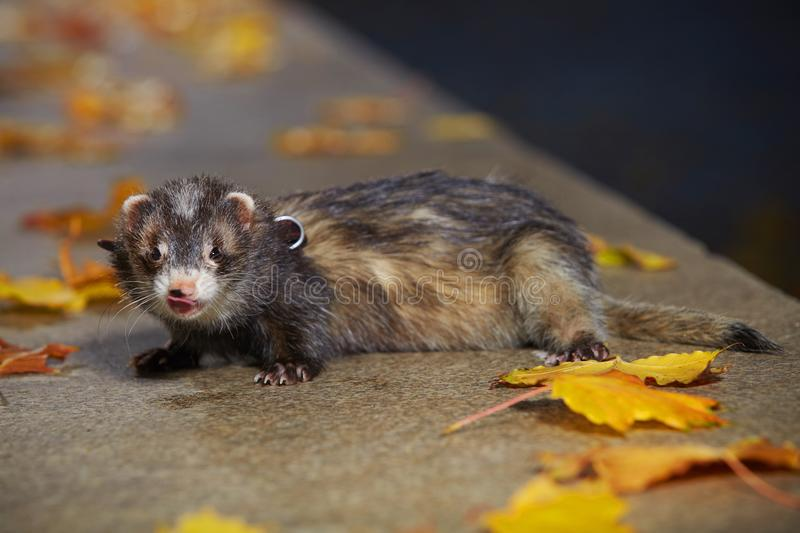 Pretty black sable ferret posin on stone fence in autumn park. Ferret on leash posing and enjoying their game in autumn park royalty free stock photo