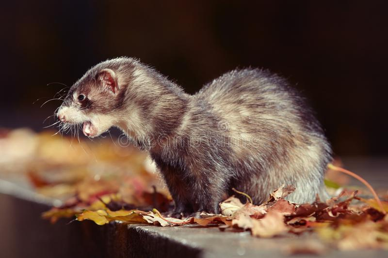 Pretty black sable ferret posin on stone fence in autumn park. Ferret on leash posing and enjoying their game in autumn park royalty free stock photos