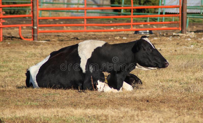 Pretty black and white Holstein cow lying in a pasture royalty free stock photography