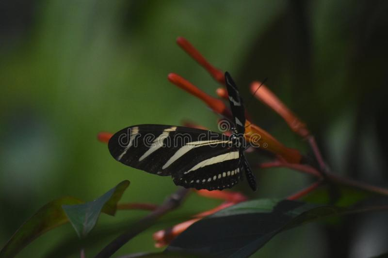 Pretty Black and White Striped Zebra Longwing Butterfly stock images