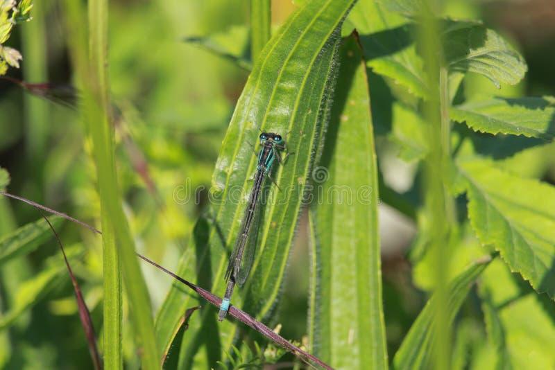 A pretty blue dragonfly on a leaf i stock image