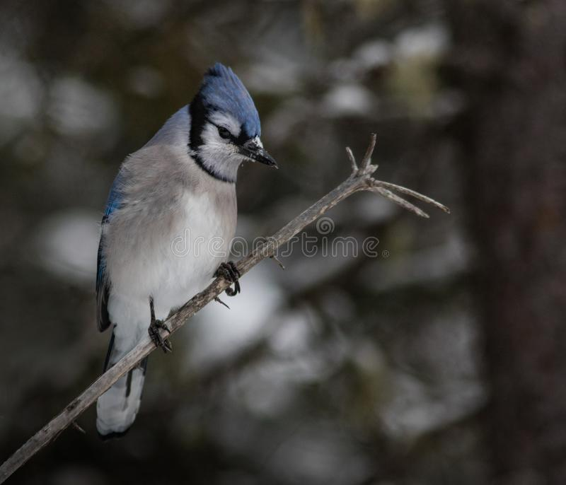 Blue Jay up Close stock images