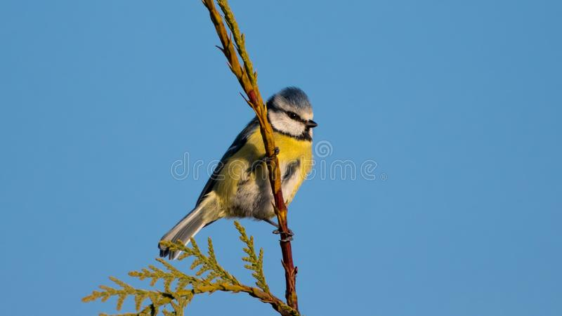 Pretty bluetit sitting in the afternoon golden hour with a blue sky royalty free stock photography