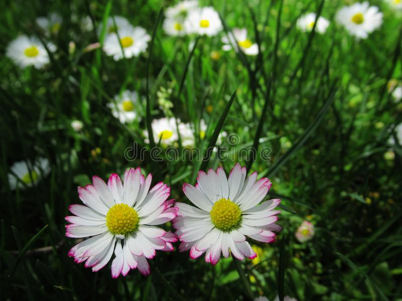 Gorgeous & Bright Close Up White & Pink Common Daisy Flowers Blossom In Springtime 2019 royalty free stock images
