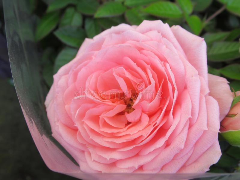 Pretty & Bright Closeup Pink Rose Flowers. Blossom In Vancouver British Columbia Park Garden royalty free stock images