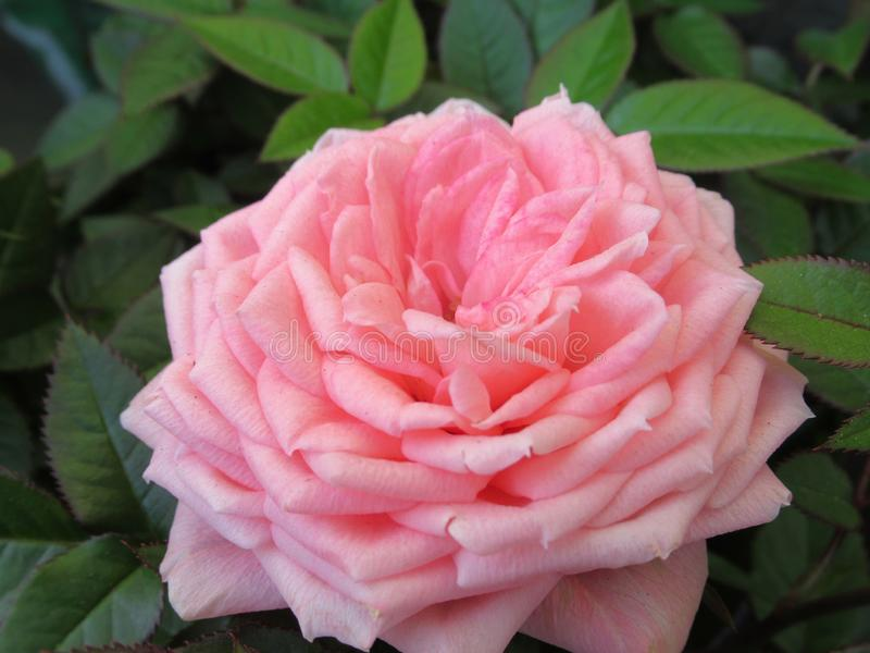 Pretty & Bright Closeup Pink Rose Flowers. Blossom In Vancouver British Columbia Park Garden royalty free stock photo